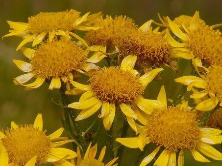 Arnica, Arnica Montana, Medicinal Plant, Flower
