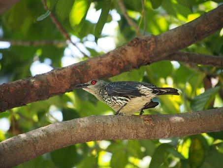 Hui Starling, Female, Bird, Asia-hui Starling, Fauna