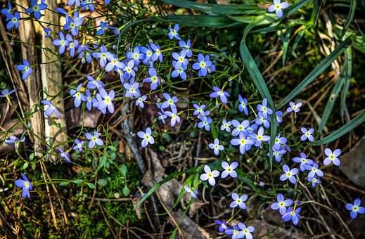 Bluets, Azure Bluets, Quaker Ladies, Wildflowers