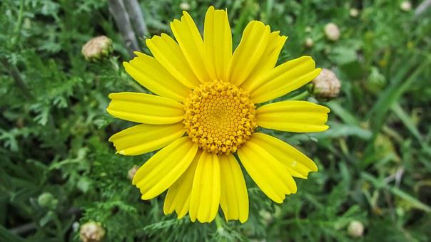 Arnica, Cyprus, Cavo Greko, National Park, Flower