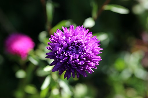 Astra, Flower, Purple, Nature, Autumn Flower, Plant