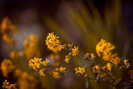 Arnica, Pointed Arnica, Flower, Flowers, Yellow Flowers