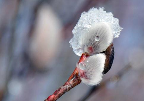 Blossom, Bloom, Willow Catkin, Frost, Nature, Cold
