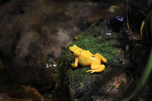 Panamanian Golen Frog, Frog, Yellow, Poisonous, Animals