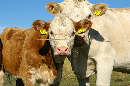 Ko, Calf, Cows, Gape, Together, Family Ties, Pets