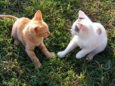 Cats, Funny, Kittens, Playing, Animals, Kitty, Domestic