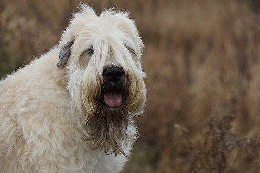 Wheaten Terrier, Dog, Pet, Terrier, Purebred, Puppy