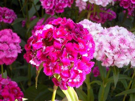 Pussy Toes Everlasting, Flower Garden, Bloom, Blossom
