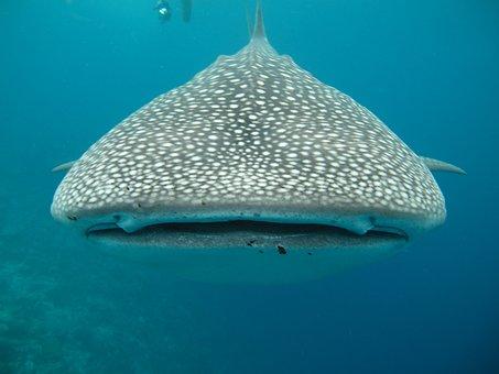 Whale Shark, Maldives, Sea