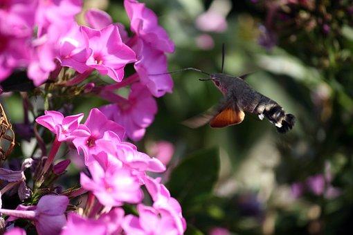 Phlox, Sphinx Hummingbird, Hummingbird Moth