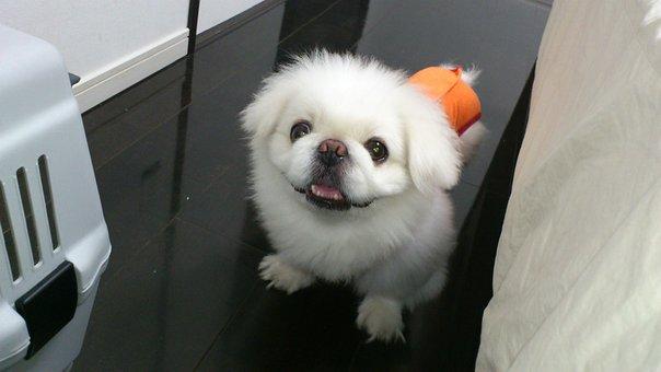 Dog, Lion Maru, Pekingese, Lair, Today I Got This