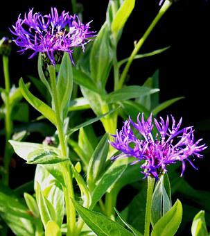 Bluets, Composites, Violet, Leaves, Stems