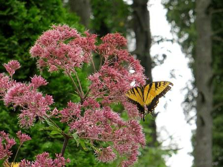 Butterfly, Joe Pye Weed, Flowers, Yellow, Pink