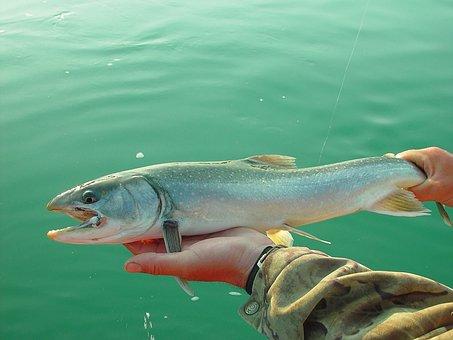 Salmon, Fishing, Fish, Alaska, Dolly Varden