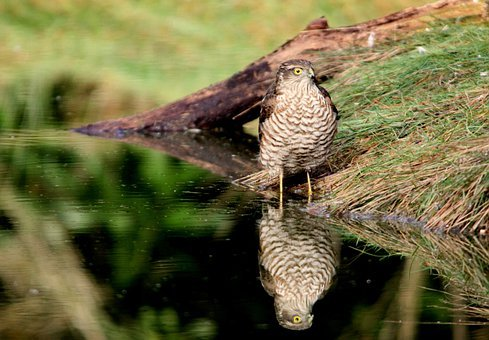 Sparrowhawk, Bird Of Prey, Mirror Image