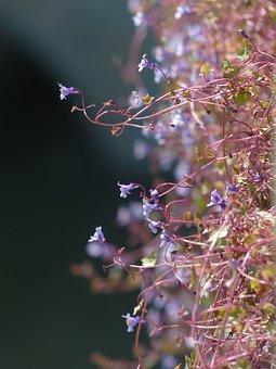 Dulcimer Herb, Blossom, Bloom, Blue, Violet, Purple