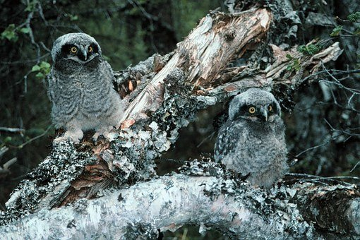 Northern Hawk Owl, Owls, Bird, Chicks, Winter, Snow