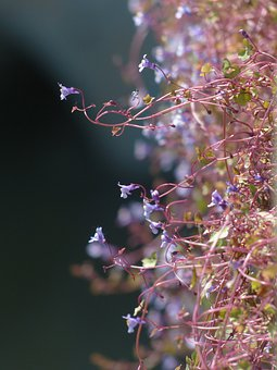 Dulcimer Herb, Blossom, Bloom, Blue, Violet, Purple