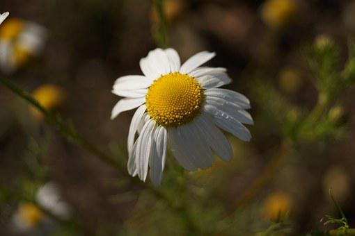 Daisy, Flower, White, Nature, Keywords Fotomontáž