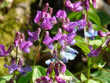 Spring Pea, Fabaceae, Pea, Plant, Wild Plant, Flower