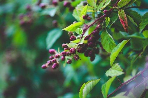 Fresh, Blackberries, Bush, Nature, Green, Fruit, Black