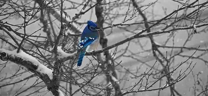 Jay, Blue, Bird, Winter, Tree, Cold, Brench, Camaïeu