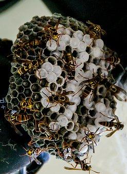 Wasp, Nest, Paper Wasp, Honeycomb, Pattern, Wild