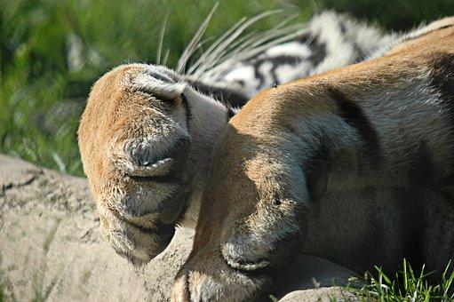 Tiger, Paw, Nap, Lying, Claws, Rest, Idleness, Feline
