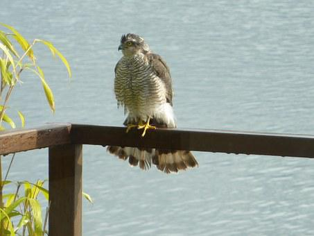 Sparrowhawk, Bird Of Prey, Bird