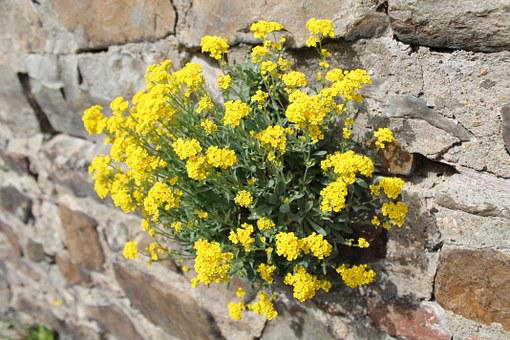 Wallflower, Wall, Flower, Wall Plant, Blossom, Bloom