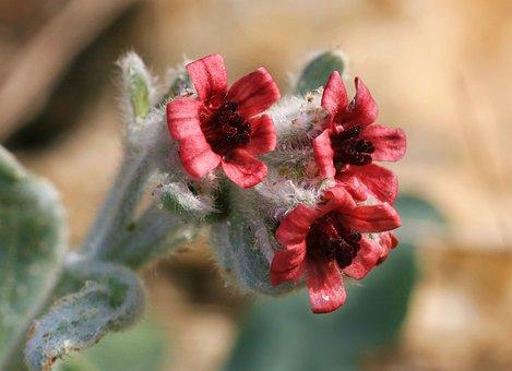 Pardoglossum Cheirifolium, Flowers, Scrubland, Wild