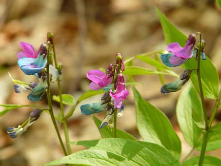 Spring Pea, Fabaceae, Plant, Wild Plant, Flower