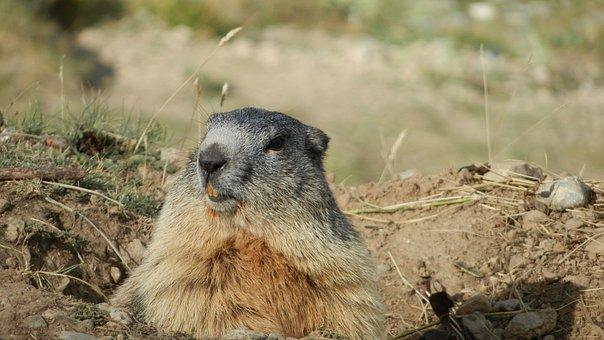 Marmot, Alps, Wildlife