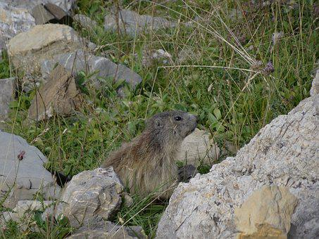 Marmot, Mountain, Wildlife Alps, Alps Of High Provence