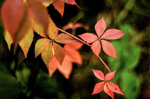 Autumn, Parthenocissus, Colorful Leaves, Autumn Foliage