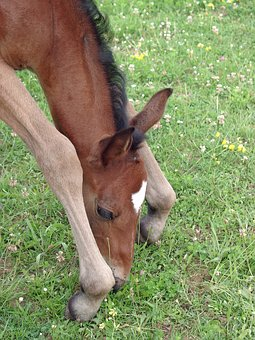 Foal, Filly, Horse, Breeding Horses, Pure Arab Blood
