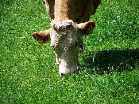 Cow Portrait, Browse, Brown And White Cattle