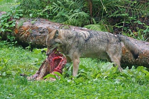 Wolf, Predator, European Wolf, Carnivores, Mammal, Prey