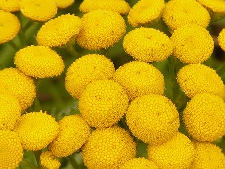 Tansy, Tanacetum Vulgare, Chrysanthemum Vulgare