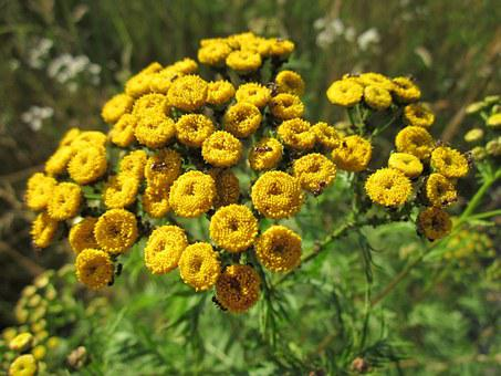 Tanacetum Vulgare, Tansy, Common Tansy, Bitter Buttons
