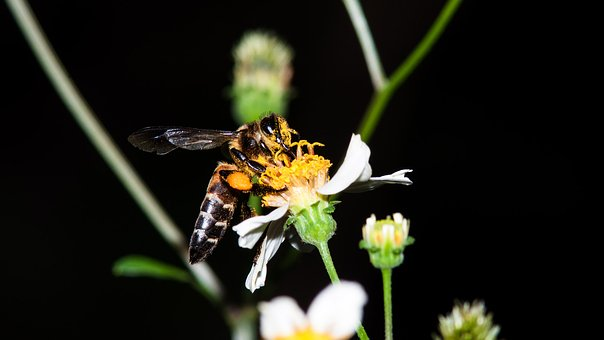 Bees, Deficit, Cool, Insects, Makro, Flower, Tansy