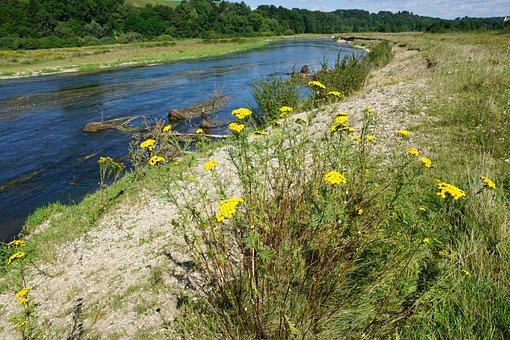 Tansy, Medicinal Plant, Healthy, Nature, River, Danube