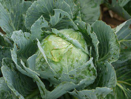 Kohl, White Cabbage, Fresh, Field, Cultivation, Garden