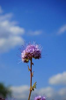 Phacelia, Flower, Flowers, Inflorescences