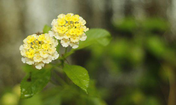 Flower, Yellow White Combination, Natural