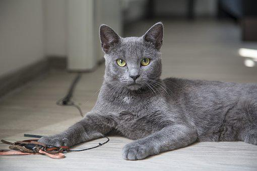 Cat, Fluffy, Feline, Kitten, Kitty, Blue, Breed, Pet