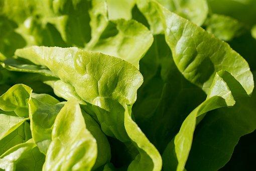 Salad, Green, Leaf Lettuce, Garden, In The Garden