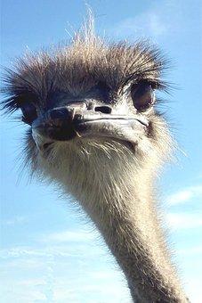 Strauss, Ostrich, Bird, Look, Funny, Bill, Head