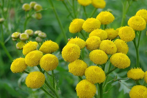 Tansy, Alternative Medicine, Common, Herbs, Macro