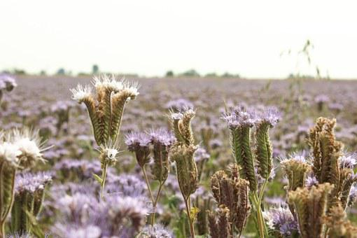 Tansy Phacelia, Honey Plant, Food, Bees, Honey, Village